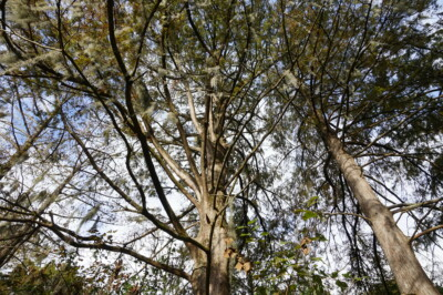 Bald Cypress canopy